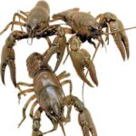 Live Crayfish For Ponds