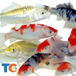 Live Standard Koi For Aquariums